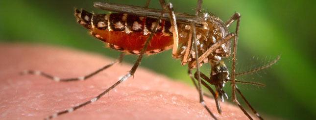 Mosquito 01